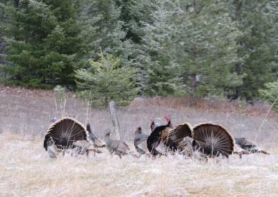 Turkeys display feathers.