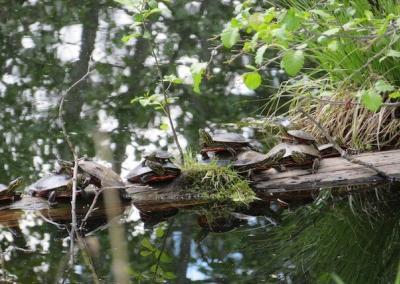 Turtles in pond.