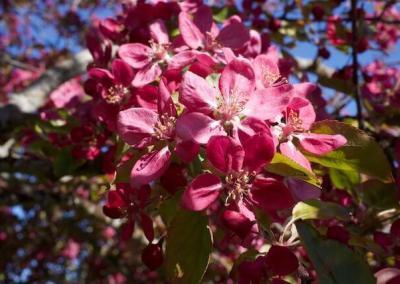 Magenta crabapple blossom.