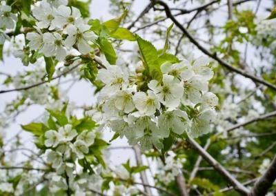 White apple tree blossom.