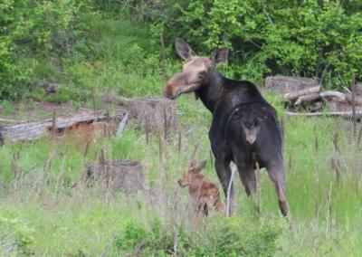 Moose with baby.