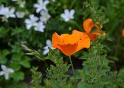 Orange poppy flower.