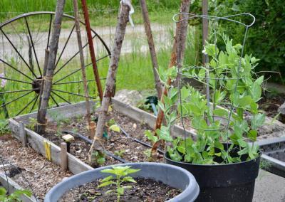 Peas grow in garden.