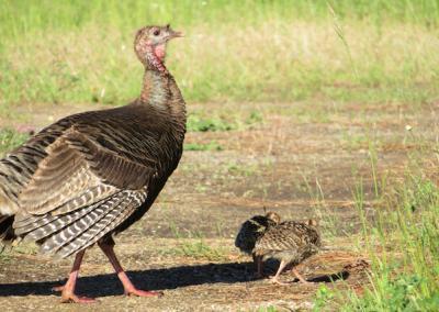 Turkey with chicks.