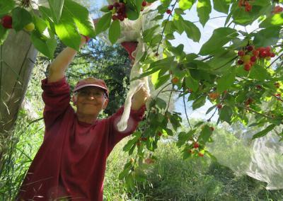 Nun picks cherries.