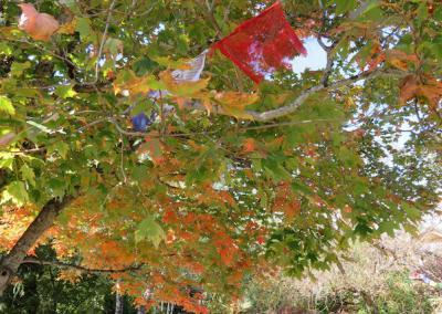 Turning colors of the maple tree in the garden.
