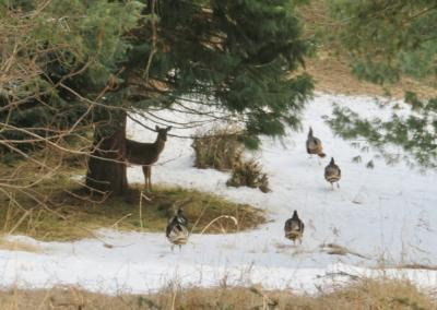 One deer and four turkeys in snow