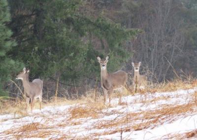 Three deer.