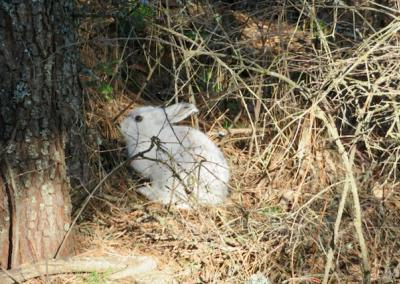 White rabbit on brown forest floor