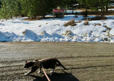 Grey cat on leash on dirt road
