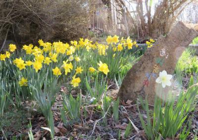 Daffodils in garden.