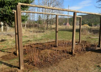 Raspberry patch planted.