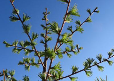 Larch tree needles.