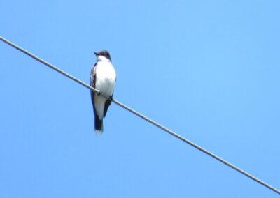 Bird on wire.