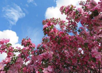 Crabapple tree.