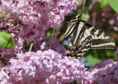 Butterfly in lilac bush.