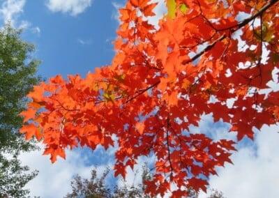 Maple tree with orange leaves against blue sky