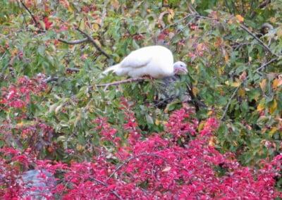 White turkey in tree